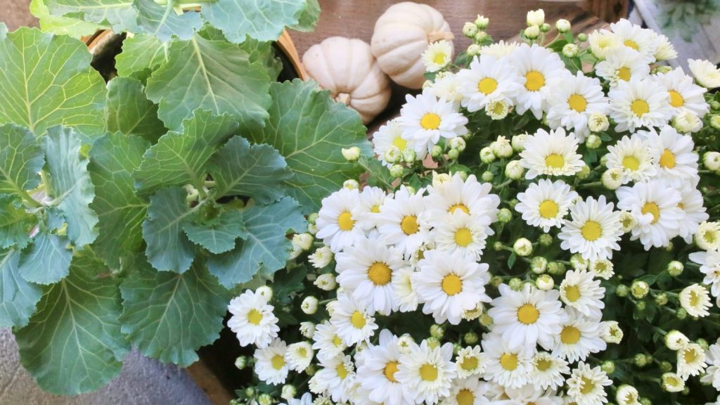 Mums and cabbage for fall decor